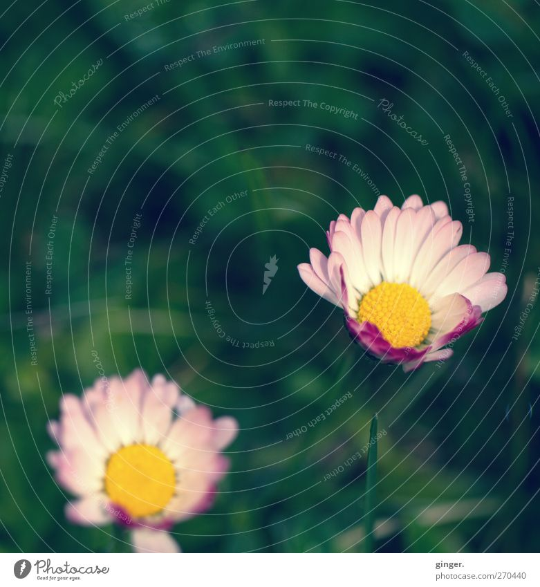 Hiddensee | Auch da gibt's Gänseblümchen Umwelt Natur Pflanze Frühling Schönes Wetter Blume Blüte Wiese grün rosa gelb klein Makroaufnahme schön aufgehen