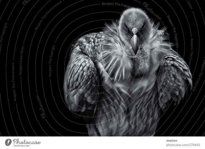 champion Tier Wildtier Tiergesicht Flügel 1 sportlich schwarz weiß Körperhaltung aufgeplustert Geier Schwarzweißfoto Außenaufnahme Menschenleer