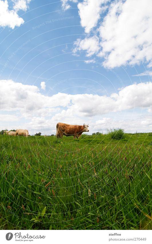 vorsicht, die bullen kommen! Himmel Tier Wolken Wiese Gras Feld Schönes Wetter Weide Kuh saftig Nutztier Bulle muhen