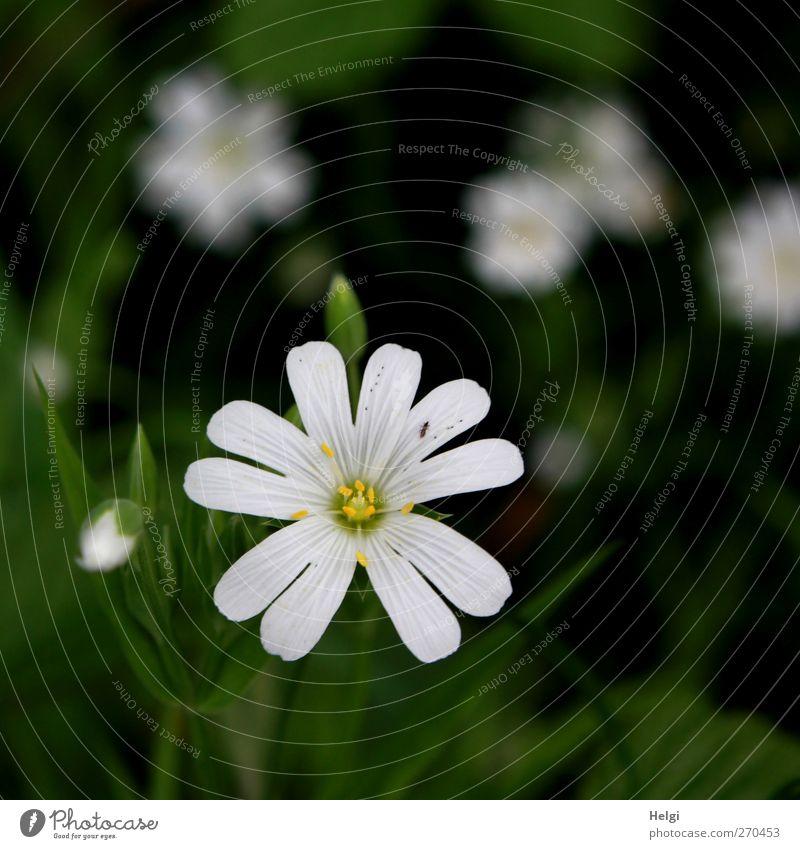 Blümelein... Natur weiß grün schön Pflanze Blume Umwelt dunkel Frühling klein Blüte natürlich Wachstum ästhetisch einzigartig einfach