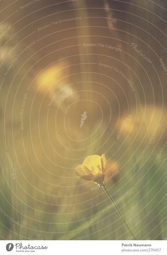 Ranunculus Natur grün schön Pflanze Sommer Tier Einsamkeit ruhig Erholung gelb Wiese Frühling Stimmung gold glänzend ästhetisch