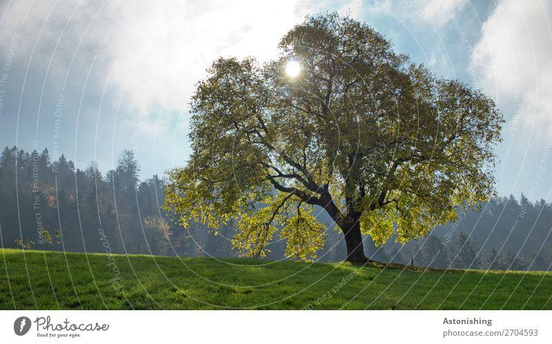 der Baum Umwelt Natur Landschaft Pflanze Himmel Wolken Sonne Sonnenlicht Sommer Wetter Schönes Wetter Blatt Grünpflanze Wiese Feld Wald Hügel alt gigantisch