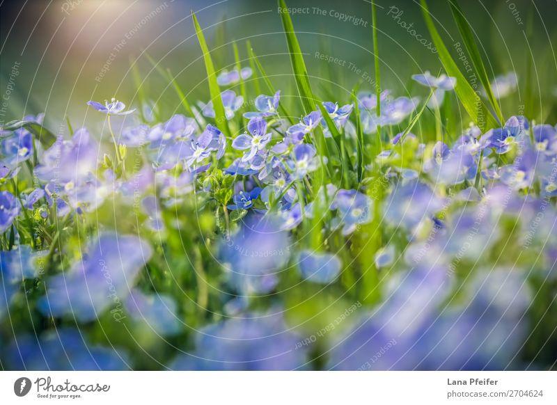 Feld mit frischen Morgenblumen im Frühjahr Natur Landschaft Pflanze Blume Gras Gefühle Fröhlichkeit Leidenschaft Postkarte Wiesenblume zart duftig Delikatesse