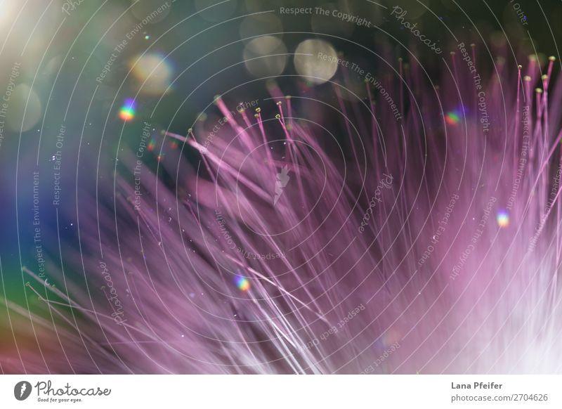 Extreme macro of purple flower blossom and light elegant exotisch harmonisch Erholung Dekoration & Verzierung Pflanze Wassertropfen Blüte rosa