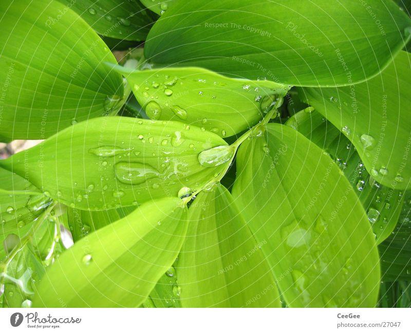 Wasser im Grünen Pflanze Blume grün nass feucht Blatt Makroaufnahme Nahaufnahme Regen Wassertropfen Natur Zweig