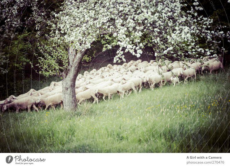 Mein Ausblick! Tier Nutztier Schaf Tiergruppe Herde Tierjunges Tierfamilie laufen Zusammensein Eile Wald Wiese Angst Appetit & Hunger Frühling Schweben Idylle