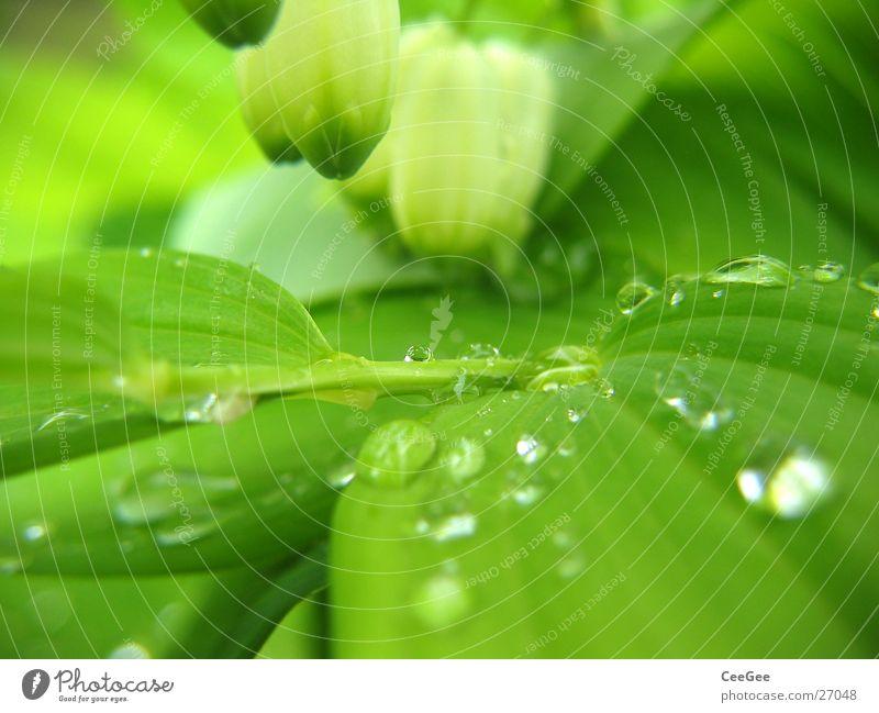 Wasser im Grünen 2 Pflanze Blume grün nass feucht Blatt Blüte weiß hängen Makroaufnahme Nahaufnahme Regen Wassertropfen Natur Zweig