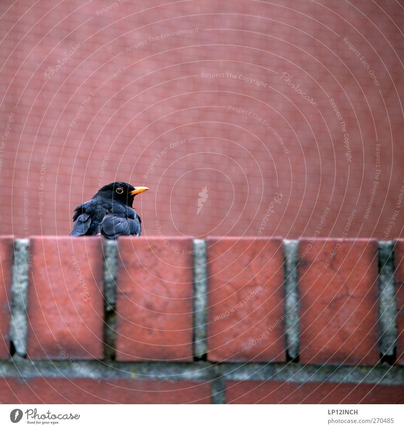 Am SEL Umwelt Mauer Wand Tier Wildtier Vogel 1 beobachten Neugier rot Freiheit Backstein Amsel Farbfoto Außenaufnahme Menschenleer Tag Schwache Tiefenschärfe