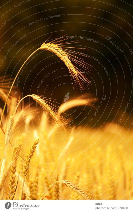 Habe die Ähre Lebensmittel Getreide Bioprodukte Sommer Umwelt Natur Landschaft Pflanze Schönes Wetter Nutzpflanze Feld leuchten Wachstum natürlich gelb gold