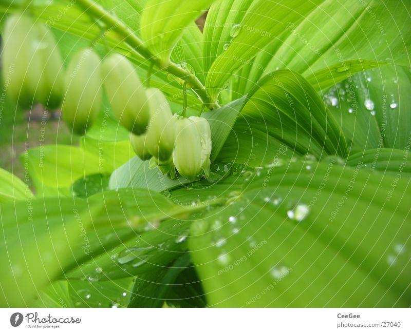 Wasser im Grünen 3 Pflanze Blume grün nass feucht Blatt Blüte weiß hängend Makroaufnahme Nahaufnahme Regen Wassertropfen Natur Zweig Reihe