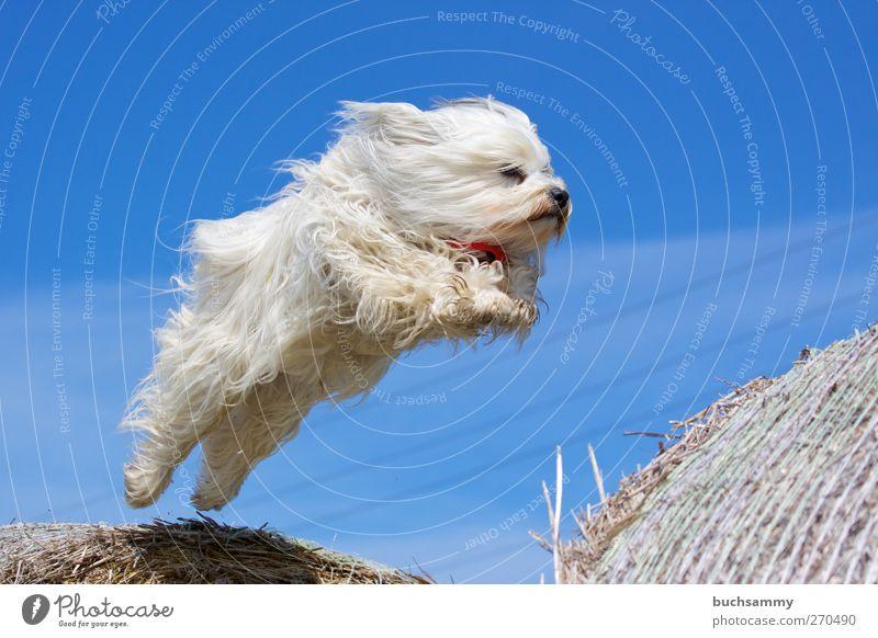 Fliegender Havaneser Hund Natur blau weiß Tier Spielen Glück springen außergewöhnlich Luft fliegen wild Geschwindigkeit Coolness Fell sportlich