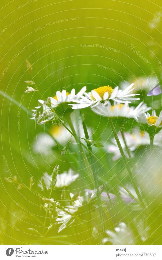 Gänse harmonisch Natur Pflanze Frühling Sommer Blume Gras Blüte Grünpflanze Nutzpflanze Gänseblümchen Wiese Blühend entdecken leuchten träumen einfach