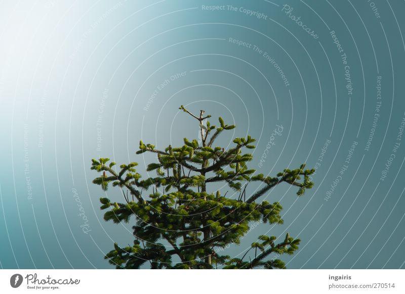 Frische Tannenzapfen Himmel Natur blau grün Baum Pflanze Farbe ruhig Umwelt Frühling Luft Stimmung Wachstum nah Duft