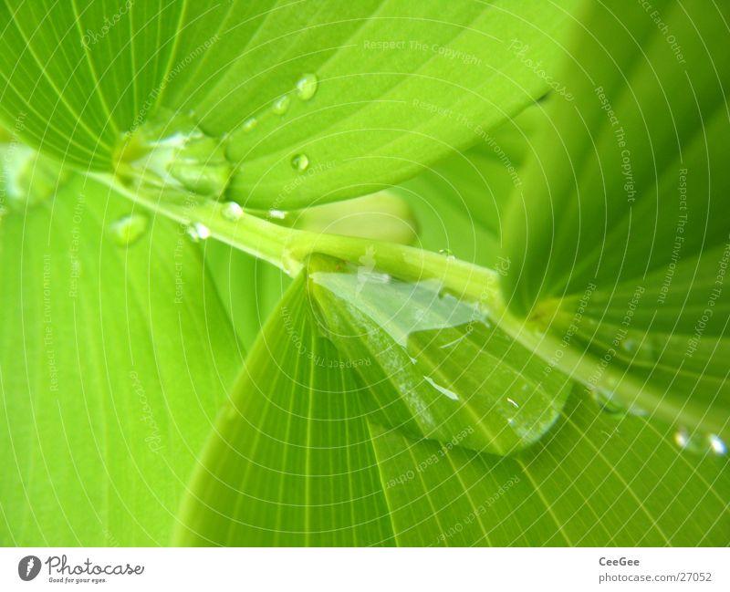 Wasser im Grünen 5 Pflanze Blume grün nass feucht Blatt Makroaufnahme Nahaufnahme Regen Wassertropfen Natur Zweig