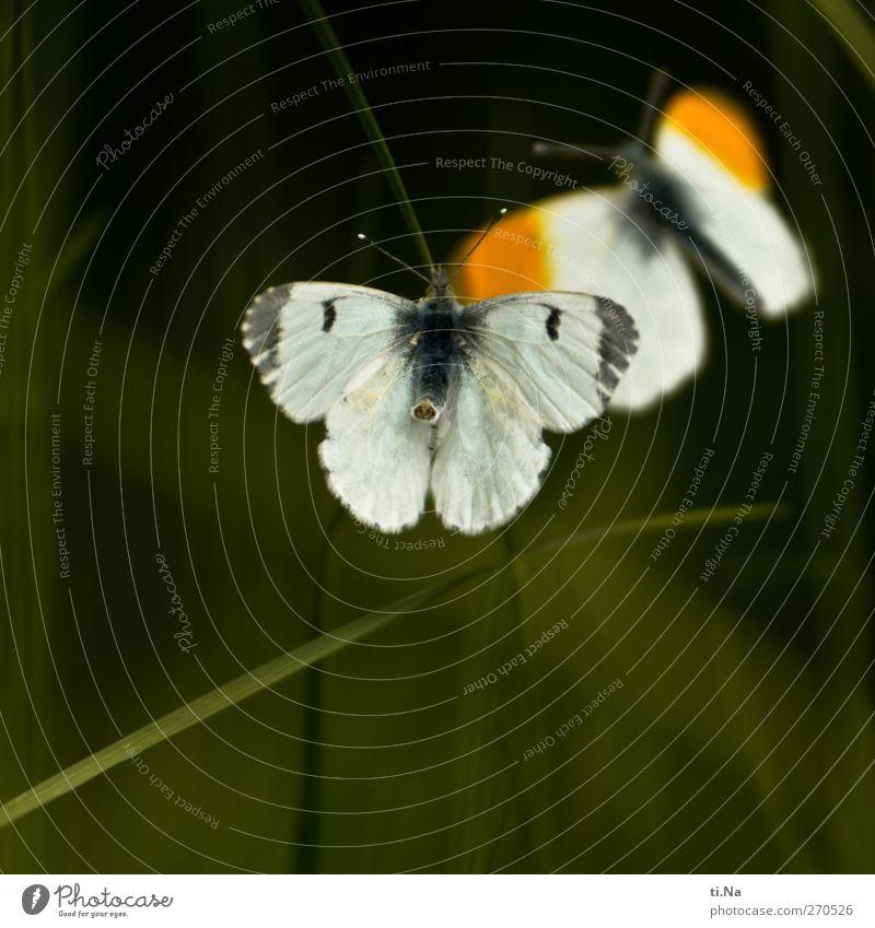 Aurora Tre Umwelt Natur Frühling Gras Garten Wildtier Schmetterling Flügel Aurorafalter 2 Tier Brunft fliegen schön feminin grau grün orange weiß