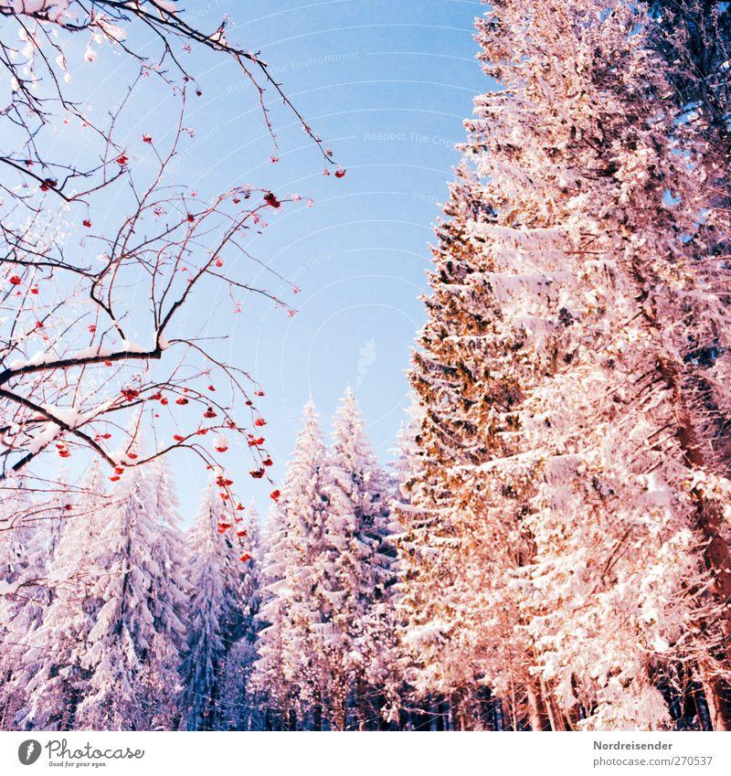 Vogelbeeren Leben Sinnesorgane ruhig Winter Schnee Winterurlaub Natur Landschaft Pflanze Wolkenloser Himmel Schönes Wetter Eis Frost Baum Sträucher Wildpflanze
