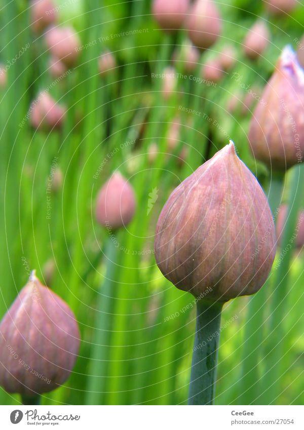 Schnittlauch Pflanze grün Kräuter & Gewürze Stengel Blüte Garten Natur Makroaufnahme Nahaufnahme Stab
