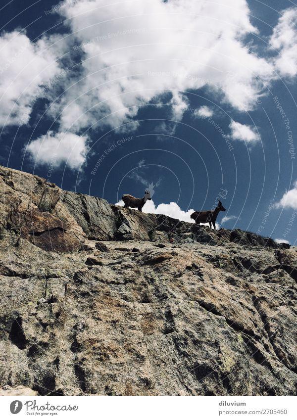 zu zweit Natur Himmel Wolken Felsen Berge u. Gebirge Tier Wildtier Steinbock 2 stehen natürlich Schwarzweißfoto Außenaufnahme Strukturen & Formen Tag