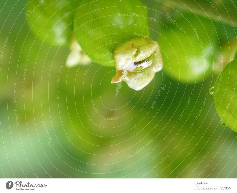Johannisbeere Natur grün Blüte Garten Frucht weich Kugel Beeren unreif Johannisbeeren