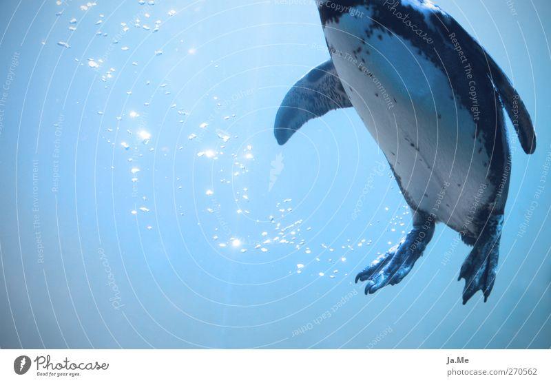 Aufgetaucht blau Wasser Meer Tier Schwimmen & Baden Vogel Wildtier tauchen Luftblase Pinguin Polarmeer Unterwasseraquarium