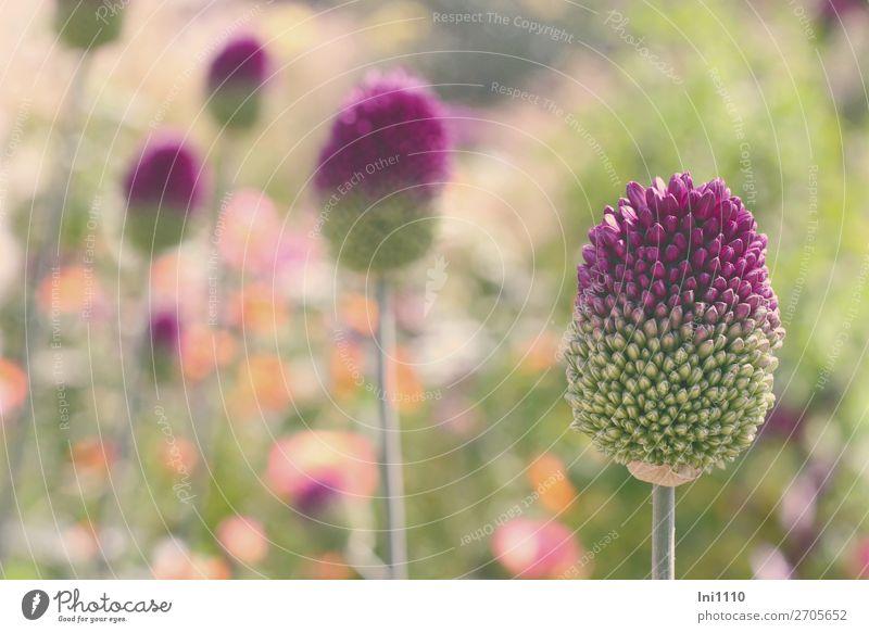 Lauch, Kugelköpfiger Natur Pflanze Sommer Schönes Wetter Blume Allium sphaerocephalon Garten Park mehrfarbig grau grün violett orange rosa weiß Porree