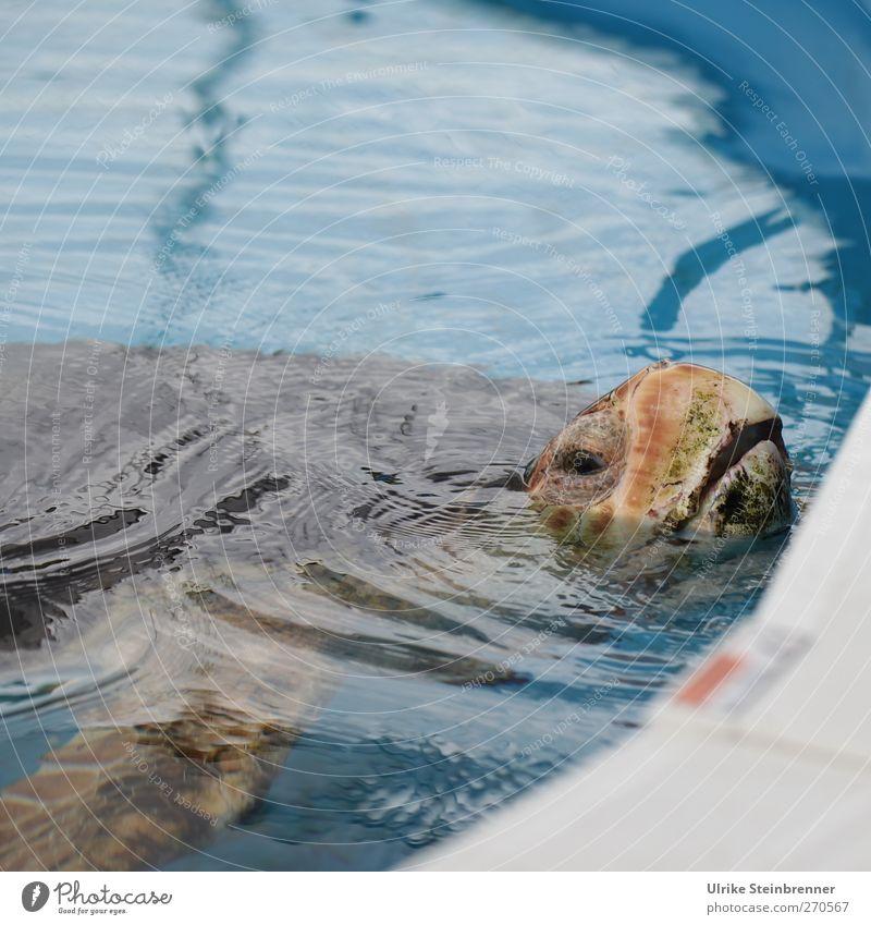 Luft holen Tier Wildtier Zoo Aquarium Schildkröte Grüne Meeresschildkörte 1 alt atmen Schwimmen & Baden Blick Traurigkeit exotisch nass Sicherheit Schutz