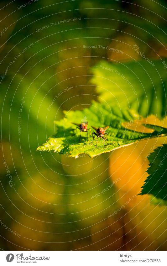 Zu zweit ist vieles schöner Natur Frühling Sommer Schönes Wetter Pflanze Blatt Fliege 2 Tier Tierpaar genießen natürlich positiv Wärme gelb grün Warmherzigkeit