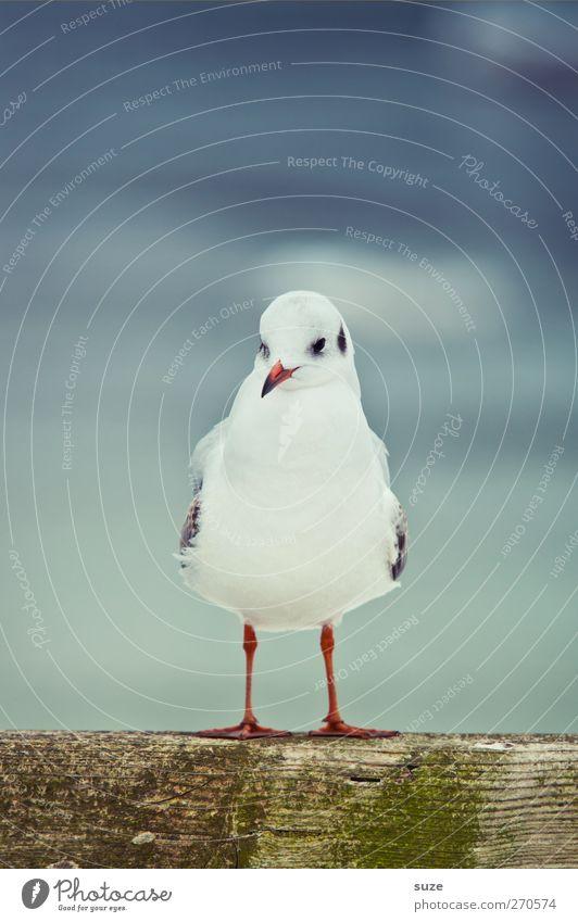Breitbeiner ruhig Umwelt Natur Tier Himmel Wildtier Vogel 1 stehen warten kalt klein niedlich blau weiß Möwe Möwenvögel Feder Holz Rotschnabelmöwe Farbfoto