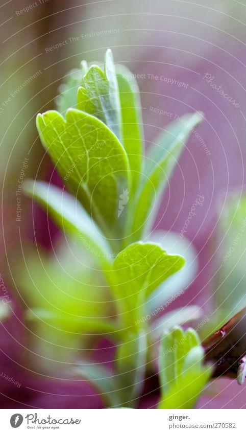 Warten? Warten! Natur grün Pflanze Blatt Umwelt Frühling frisch authentisch Wachstum Sträucher einfach violett zart Grünpflanze Blattadern Hecke