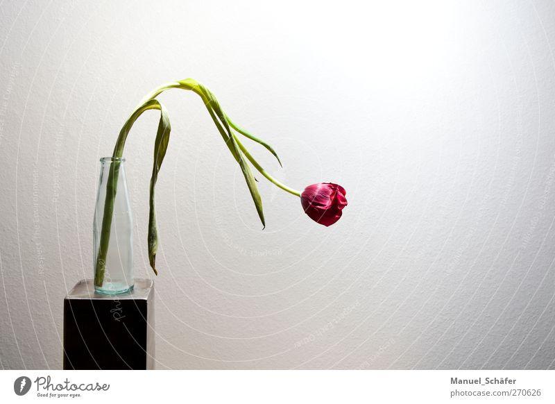 Der Frühling geht zur Neige Pflanze Blume Tulpe Blüte einfach modern grau grün rosa weiß Einsamkeit Beginn Ende Trauer Traurigkeit Farbfoto Innenaufnahme