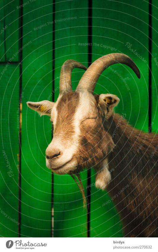 Montagmorgenportrait grün Tier Erholung lustig braun authentisch schlafen niedlich Freundlichkeit Horn Tierliebe Ziegen Trägheit verschlafen