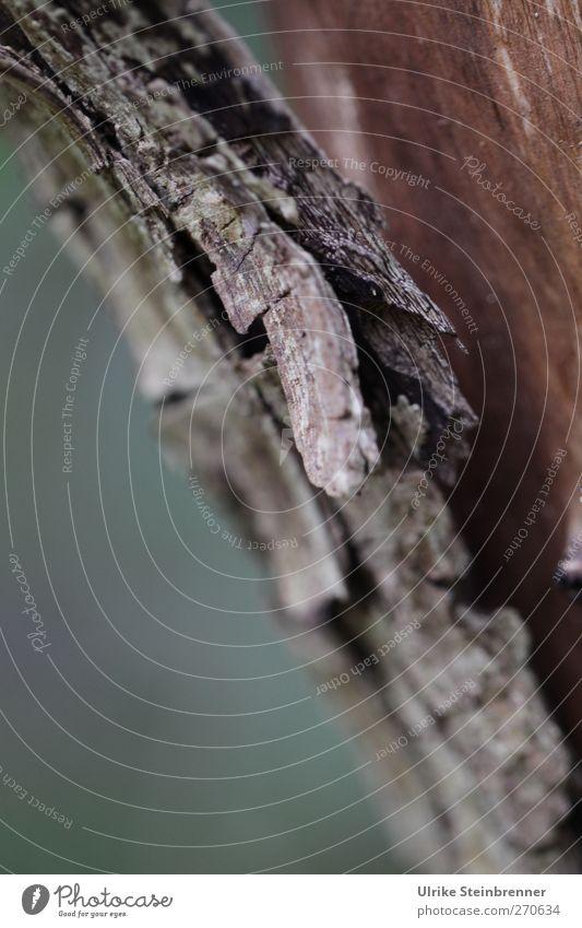 Losgelöst Natur alt Pflanze Umwelt Frühling natürlich Tod Holz braun Baumstamm trocken hängen Baumrinde Spalte Schuppen Faser