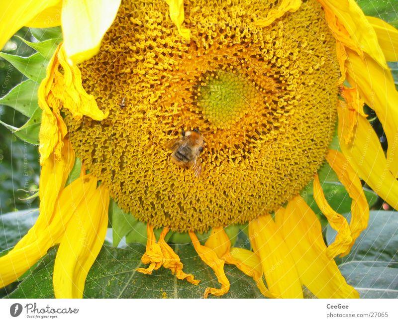 Sonnenblume Hummel Blume Pflanze gelb Insekt Blüte Blatt Blütenblatt Makroaufnahme Natur