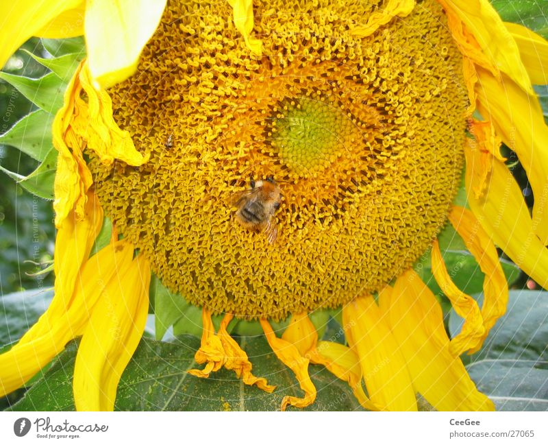Sonnenblume Natur Blume Pflanze Blatt gelb Blüte Insekt Hummel Blütenblatt