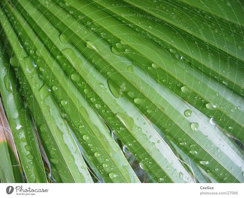 nach dem Regen Blatt Palme grün Pflanze Wasser Natur Nahaufnahme Makroaufnahme Strukturen & Formen Linie