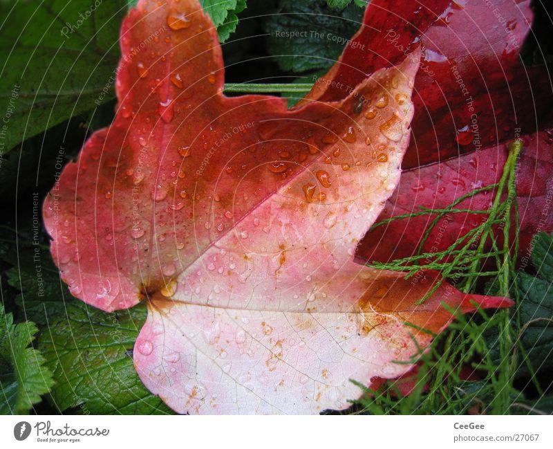 Blatt Herbst Wilder Wein rot Regen Pflanze nass feucht Natur Wassertropfen