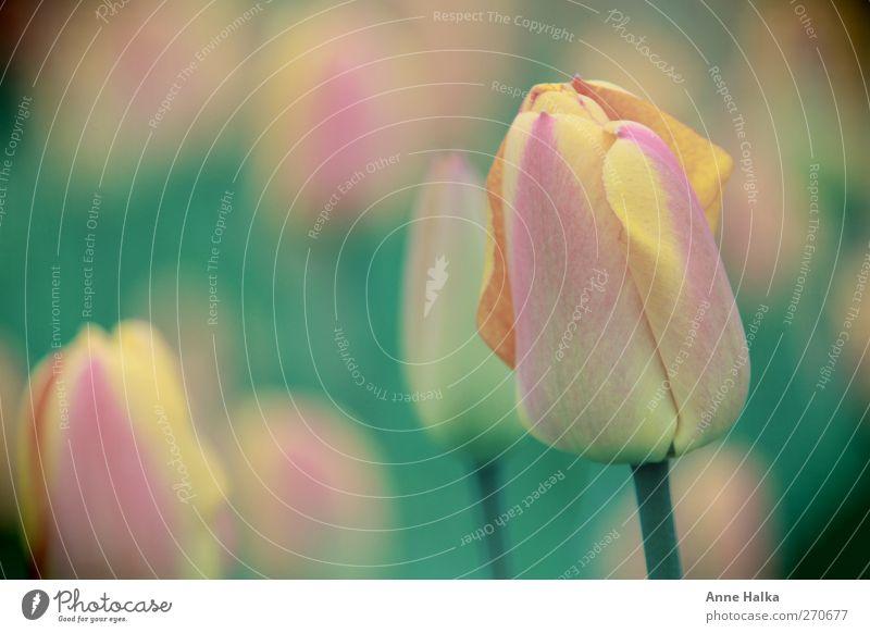 Tulpe im Feld schön Garten Pflanze Frühling Sommer Blume Blühend Duft Liebe träumen verblüht Wachstum rosa Muttertag Geburtstag Valentinstag