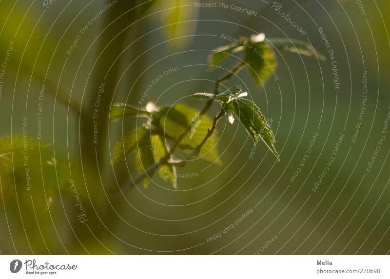 Es grünt so grün Natur grün Baum Pflanze Blatt ruhig Umwelt Frühling Zeit natürlich Beginn Wachstum nah Buche