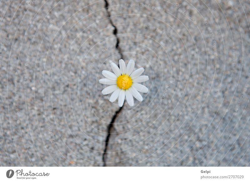 Daisy, geboren aus einem Riss im Asphalt. Leben Sommer Umwelt Natur Pflanze Blume Straße Beton Wachstum natürlich stark gelb grün Kraft Einsamkeit Überleben