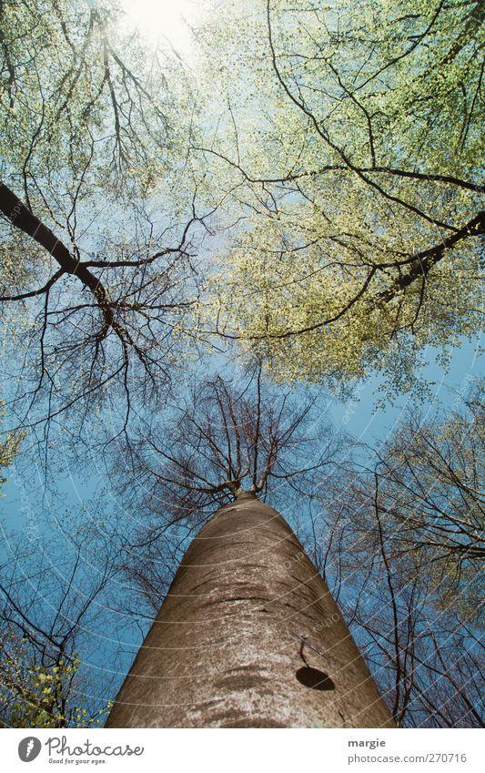 Alles neu macht der Mai...Blick in hohe Baumwipfel Umwelt Natur Landschaft Urelemente Himmel Sonne Frühling Klima Schönes Wetter Pflanze Blatt Wachstum
