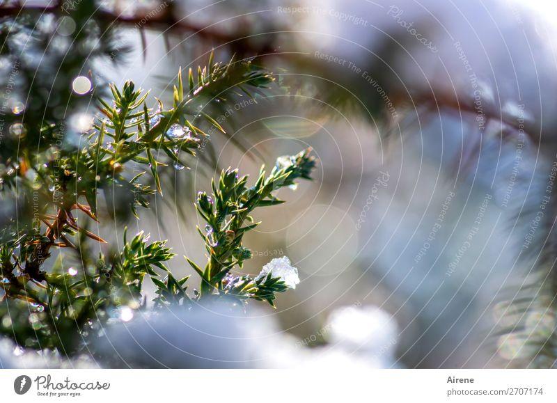 Wacholder im Winterkleid II Schönes Wetter Eis Frost Schnee Zweige u. Äste frieren glänzend frisch kalt natürlich positiv stachelig blau grün weiß Lebensfreude