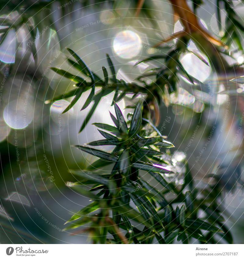 Wacholder mit Sonnenlicht II Winter Schönes Wetter Eis Frost Sträucher Zweige u. Äste Reflexion & Spiegelung frieren glänzend frisch kalt natürlich grün weiß