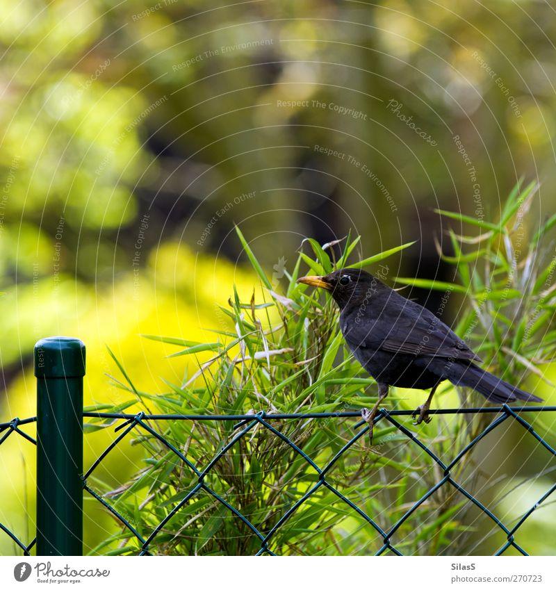 möchtegern Zaunkönig grün Baum Pflanze Tier schwarz gelb Vogel braun orange Amsel Zaunpfahl