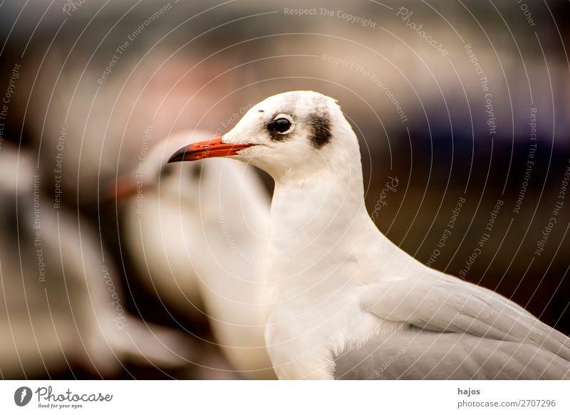 Lachmöwe, Nahaufnahme Tier Wildtier Vogel grau schwarz weiß Larus ridibundus L. seagull wildlife Oberkörper sitz Ostsee Fauna Polen Farbfoto Außenaufnahme