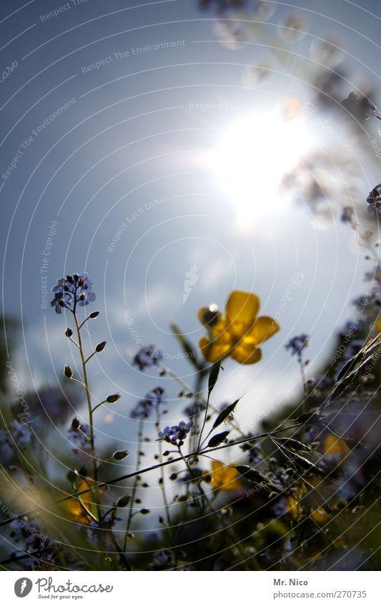 flower power I Umwelt Natur Pflanze Wolkenloser Himmel Frühling Sommer Schönes Wetter Blume Sträucher Blüte Wildpflanze Garten Park Wiese Blühend Duft gelb