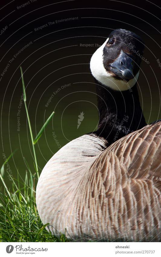 Gans schön. Natur Tier Wiese Wildtier Vogel 1 liegen Idylle Farbfoto Außenaufnahme Textfreiraum links Tierporträt