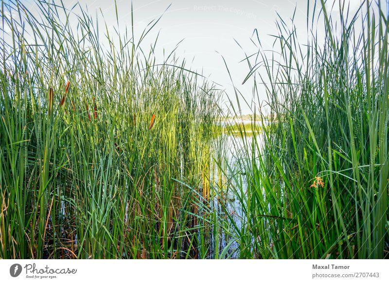 Schilf und Fluss Kräuter & Gewürze Geldinstitut Umwelt Natur Landschaft Pflanze Himmel Wind Baum Blume Gras Küste Teich See Wachstum natürlich blau grün rosa