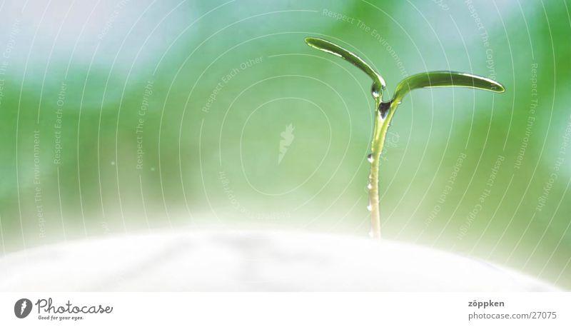 Pflanzenkeim Keim Wachstum Reifezeit grün Jungpflanze