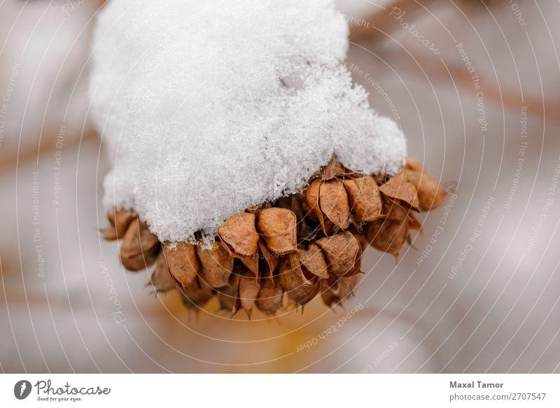 Schnee auf Saatgut in den Hülsen Winter Weihnachten & Advent Natur Pflanze Baum Wald weiß Ast kalt Kristalle Dezember Februar Frost gefroren Eis eisig Januar