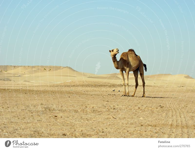 Ähm... wolang jetzt??? Himmel Natur Tier Umwelt Landschaft Wärme hell natürlich Wüste Fell Spuren heiß Wolkenloser Himmel Nutztier Dromedar